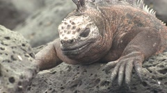 Marine Iguana Adult Grooming Fall Itching Scratching - stock footage