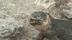 Land Iguana Adult Lone Feeding Fall Eating Swallowing Stock Footage