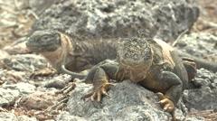 Land Iguana Adult Pair Fall Plaza Island Stock Footage