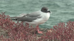 Swallow-tailed Gull Standing Fall Zoom Out Stock Footage