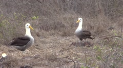 Wave Albatross Male Female Adult Pair Breeding Fall Mating Display Dance Stock Footage