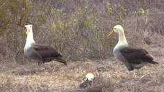 Wave Albatross Male Female Adult Several Breeding Fall Courtship Display Stock Footage
