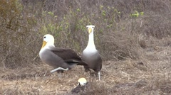 Wave Albatross Male Female Adult Young Pair Breeding Fall Head Bobbing Stock Footage