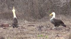 Wave Albatross Male Female Adult Pair Breeding Fall Bill Clashing Stock Footage