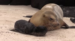 Galapagos Sea Lion Female Adult Young Family Fall Newborn Pup Stock Footage