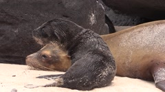 Galapagos Sea Lion Female Adult Young Family Fall Affection Stock Footage