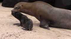 Galapagos Sea Lion Female Adult Young Family Walking Fall Beach Pup Mother - stock footage