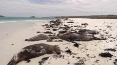 Galapagos Sea Lion Many Resting Fall Sandy Beach Stock Footage