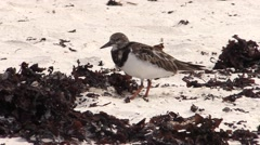 Ruddy Turnstone Lone Feeding Fall Stock Footage