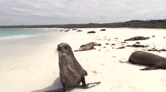 Galapagos Sea Lion Many Walking Fall Sandy Beach Espanola Island - stock footage