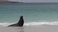 Galapagos Sea Lion Adult Several Walking Fall Sandy Beach Stock Footage