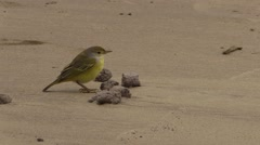 Yellow Warbler Lone Fall San Cristobal Island Sandy Beach Stock Footage