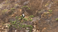 Great Frigatebird Lone Fall Habitat San Cristobal Stock Footage