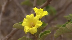 Forbs Galapagos Islands Fall Yellow Flower Habitat Zoom Out - stock footage