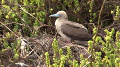 Red-footed Booby Lone Fall Stock Footage