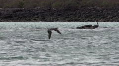 Blue-footed Booby Diving Fall Hunting Splashing Slow Motion Stock Footage