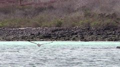 Brown Pelican Lone Diving Fall Hunting Fishing Splashing Slow Motion Stock Footage