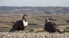 Sage Grouse Male Breeding Spring - stock footage