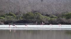 Flamingo Flock Feeding Fall Wetland Floreana Island Stock Footage