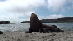 Galapagos Sea Lion Female Adult Young Family Fall Backlight Stock Footage