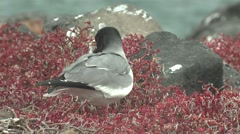 Swallow-tailed Gull Male Adult Lone Breeding Winter Stock Footage