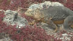 Land Iguana Adult Lone Walking Winter Stock Footage