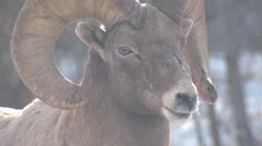Bighorn Sheep Ram Adult Lone Winter Winter Frost Vapor Closeup - stock footage