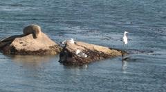 Pelagic Cormorant Adult Lone Winter Rock Gull Egret - stock footage