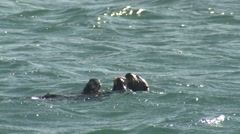 Sea Otter Female Adult Young Pair Feeding Winter Shellfish Clams Eating Stock Footage
