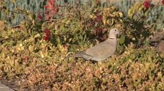 Ring-necked Dove Lone Winter Stock Footage