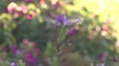 Annas Hummingbird Female Lone Feeding Winter Flower Nectar Stock Footage