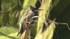 Annas Hummingbird Male Lone Resting Winter Stock Footage