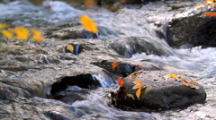 Autumn leaves fall into a scenic rapid mountain river. - stock footage