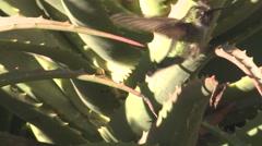 Annas Hummingbird Lone Flying Winter Stock Footage
