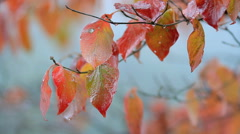 Autumn branch with rain drops. Stock Footage