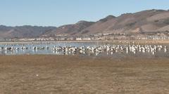 Gull Many Resting Winter Tidal Wetland Stock Footage