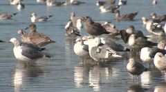 Ring-billed Gull Adult Young Flock Resting Winter Estuary Bay Stock Footage