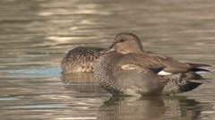 Gadwall Male Female Adult Pair Winter Stock Footage