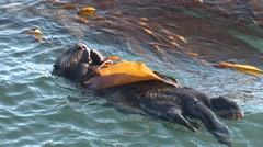 Sea Otter Adult Lone Sleeping Winter Kelp Bed Zoom Out Stock Footage