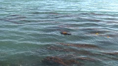 Sea Otter Adult Lone Sleeping Winter Kelp Bed Zoom In - stock footage