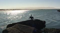 Pelagic Cormorant Adult Lone Winter Bay Backlight - stock footage