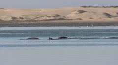 California Sea Lion Several Swimming Winter Sand Dunes Estuary Stock Footage