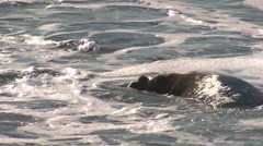 Elephant Seal Bull Adult Lone Swimming Winter Water Surf - stock footage