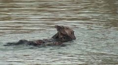 Sea Otter Male Female Adult Pair Grooming Winter Post Copulation Stock Footage