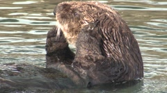 Sea Otter Male Adult Pair Grooming Winter Face Whiskers Cleaning Stock Footage