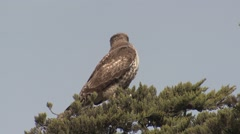 Red-tailed Hawk Lone Winter Stock Footage
