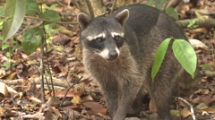 Crab-eating Raccoon Lone Alarmed Winter Face Stock Footage