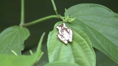 Hourglass Tree Frog Lone Resting Winter Stock Footage
