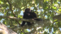 Mantled Howler Monkey Male Adult Lone Walking Winter - stock footage