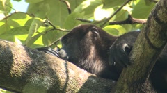 Mantled Howler Monkey Male Adult Lone Sleeping Winter - stock footage